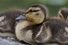 Free Baby Mallard Duck Royalty Free Stock Photography - 15217557