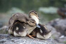 Free Baby Mallard Ducks Stock Image - 15217571