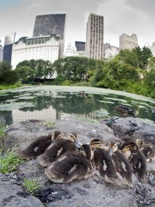 Baby Mallard Ducks Royalty Free Stock Image