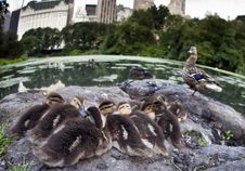 Baby Mallard Ducks Royalty Free Stock Photography