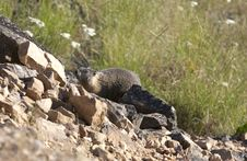Free Marmot On The Hill. Royalty Free Stock Photos - 15217698