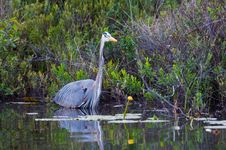 Free Great Blue Heron Stock Image - 15217771