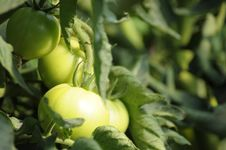 Free Green Tomatoes Stock Photography - 15217842