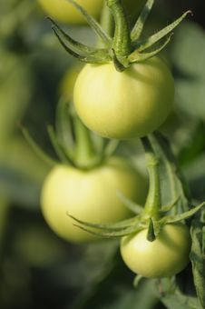 Free Green Tomatoes Stock Photo - 15217870