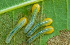 Free Sawfliy Larvae Stock Images - 15218684