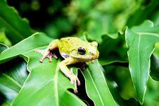 Free Frog Royalty Free Stock Photo - 15218845