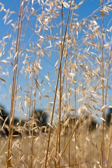 Free Wild Wheat On A Sunny Day Royalty Free Stock Photos - 15219458