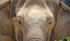 Free Elephant Portrait Stock Images - 15219524