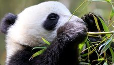 Free Panda Portrait Royalty Free Stock Image - 15219526