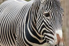 Free Zebra Portrait Royalty Free Stock Images - 15219539