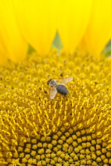Free Bee On Sunflower Stock Photos - 15219743