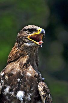 Free Eagle Stock Photo - 15220370