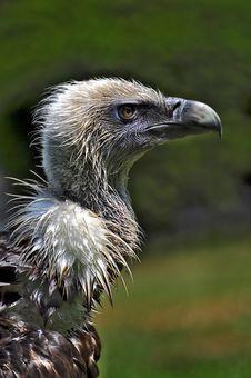 Free Aasvogel Royalty Free Stock Photo - 15220505
