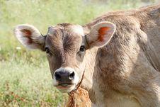 Free The Bull-Calfe Royalty Free Stock Photo - 15220915