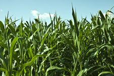 Free Corn Field Royalty Free Stock Photography - 15221227