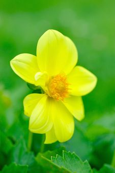 Free Beautiful Yellow Flower On Green Background Stock Photo - 15221340