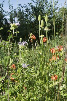 Michigan Wild Lily (Lilium Michiganense) Stock Photos