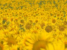 Free Sunflowers. Stock Photography - 15222002