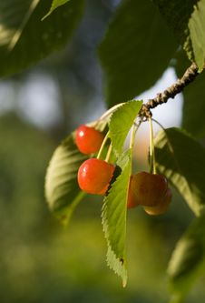 Free Cherries Stock Image - 15222251