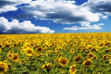Free Sunflower Field Stock Image - 15222491