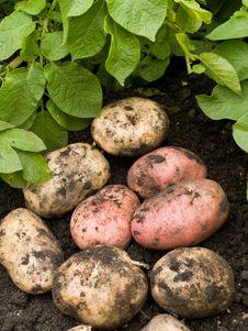 Freshly Potatoes Royalty Free Stock Photo