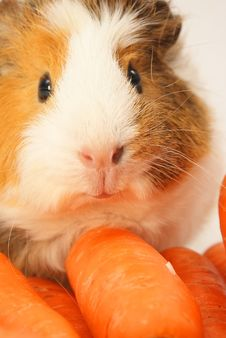Free Guinea Pig Royalty Free Stock Photography - 15223247