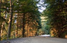 Free Sunset In Fir Forest Royalty Free Stock Photography - 15223717