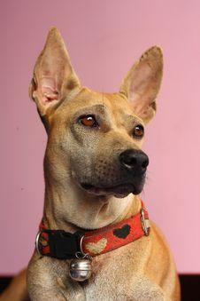 Free Dog Portrait Stock Photography - 15223952