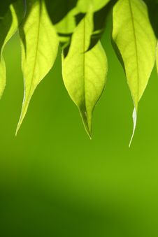 Free Green Leaves Stock Photography - 15224152