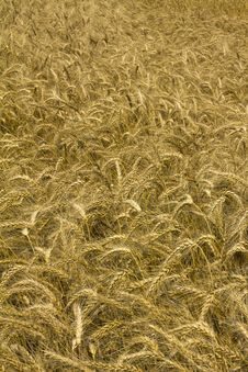 Free Wheat Or Cornfield Royalty Free Stock Image - 15224786