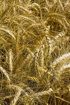 Free Wheat Or Cornfield Stock Photo - 15224860