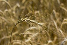 Free Wheat Or Corn Stock Photo - 15224960