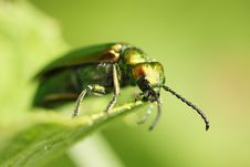 Free Cantharis Stock Photography - 15225652