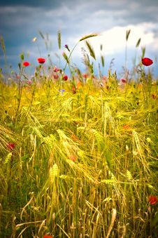 Free Wheat Royalty Free Stock Photo - 15225685