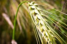 Free Wheat Stock Images - 15225694