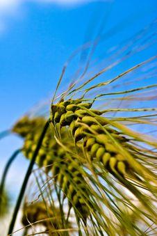 Free Wheat Stock Photos - 15225703