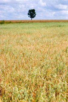 Free Wheat Stock Image - 15225711