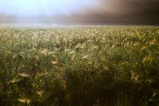 Free Wheat Stock Photo - 15225740