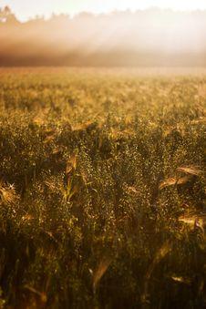 Free Wheat Royalty Free Stock Photos - 15225758