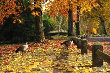 Free Duck Autumn Stock Photos - 15226353