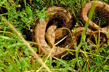 Free Snake In Grass Royalty Free Stock Photos - 15226448