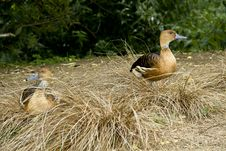 Free A Pair Of Whistling Ducks Royalty Free Stock Images - 15226649