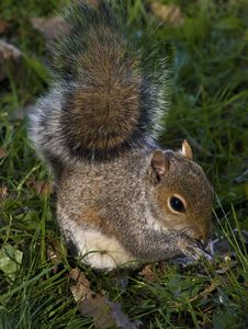 Free Happy Grey Squirrel Royalty Free Stock Photos - 15227048