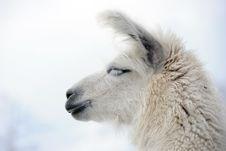 Free Lama, Schweiz 2009 Stock Images - 15227454