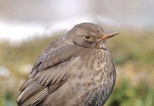 Free Female Blackbird (Turdus Merula) Royalty Free Stock Photo - 15227635