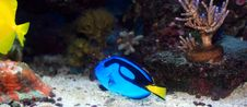 Free Blue Tang Royalty Free Stock Photo - 15228205