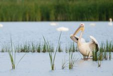 Free Great White Pelican In Water Stock Photography - 15228532