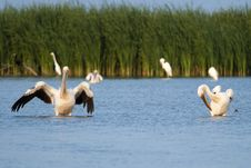 Great White Pelicans In Water Stock Image