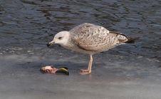Free Immature Yellow-legged Gull (Larus Michahellis) Stock Photo - 15228780