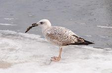 Free Immature Yellow-legged Gull (Larus Michahellis) Royalty Free Stock Image - 15228786